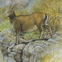 End of the Megafauna - Balearic Goat
