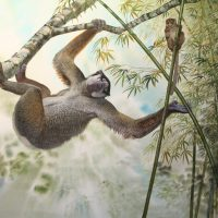 End of the Megafauna - Giant Sloth Lemur, Eastern Grey Lemur