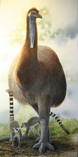 End of the Megafauna - Elephant Bird, Ringtail Lemur